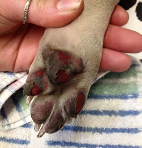 dog-burnt-paw1